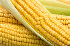 Fresh corn cobs Royalty Free Stock Image