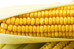 Fresh corn cobs Royalty Free Stock Photos
