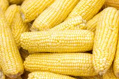 Fresh corn on cobs closeup. Grains of ripe corn. An ear of corn isolated. Corn on the cob, meal ripe juicy tasty corn. Photo of co. Rn background stock photo