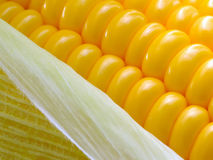 Fresh corn cobs Stock Photography