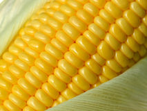Fresh corn cobs Royalty Free Stock Images