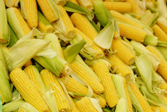 Fresh corn cobs between green leaves Royalty Free Stock Photos