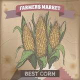 Fresh corn cobs hand drawn color sketch. royalty free illustration