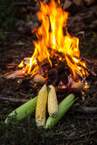 Fresh corn cobs near camp fire Royalty Free Stock Photography