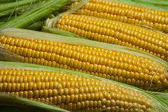 Fresh corn on cobs on rustic wooden table, close up. Sweet corn ears background.  Stock Image