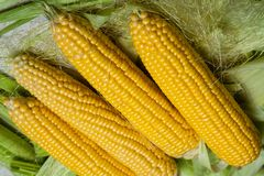 Fresh corn on cobs on rustic wooden table, close up. Sweet corn ears background.  Royalty Free Stock Image