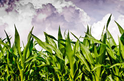Fresh corn field under stormy sky Royalty Free Stock Photos