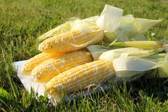 Fresh corn on the grass Stock Photography