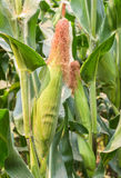 Fresh corn hanging on tree in farm Royalty Free Stock Photography