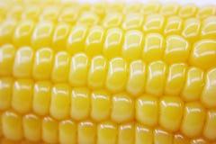 Fresh corn stock image