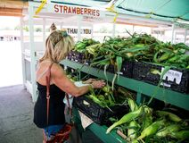 Fresh corn just picked. Fresh Nebraska corn just picked at a farmers market being inspected by a women on July 14th 2018 in Omaha USA royalty free stock photography