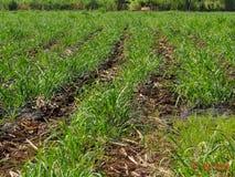Fresh Corn Maiza plant growing in farm. Arusha, Tanzania stock photos