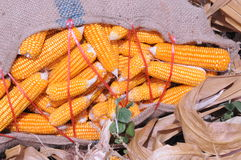 Fresh Corn sack  from the corn  field Stock Photography