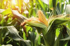 Fresh corn on stalk in field with sunset. Background Royalty Free Stock Photo