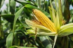 Fresh corn on stalk Stock Photo