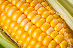Fresh corncob Royalty Free Stock Image