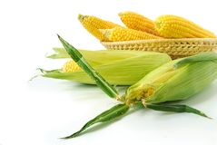 Fresh corncobs. Fresh corn cobs in a basket on white background Stock Image