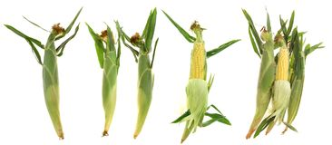 Fresh corns Royalty Free Stock Image