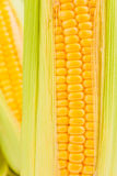 Fresh Corns Closeup Stock Photography