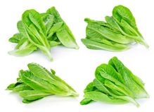 Fresh cos lettuce Royalty Free Stock Photo