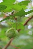 Fresh cotton boll. Close-up of fresh cotton boll on branch stock photo