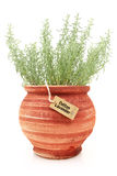 Fresh cotton lavender plant. In a clay pot royalty free stock photos