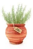 Fresh cotton lavender plant Royalty Free Stock Photos