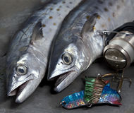 Fresh cough Spanish mackerel with fishing equipmen. Two fresh Mackerel with some fishing equipment Stock Photos