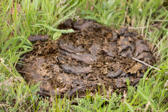 Fresh cow shit on the green grass Royalty Free Stock Photos