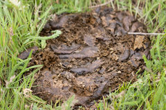 Fresh cow shit on the green grass Stock Image