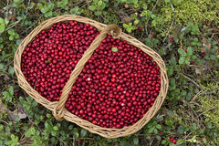 Fresh Cowberries in a Basket in the Forest Royalty Free Stock Images