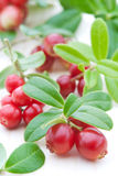 Fresh cowberry Stock Image