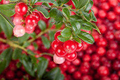 Fresh cowberry with green leaves Royalty Free Stock Photography