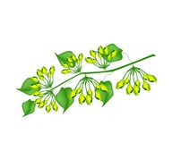 Fresh Cowslip Creeper Flower on White Background Stock Images