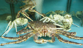 Fresh Crab in a Holding Tank Stock Photography