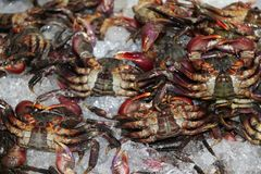 Fresh Crab on the ice. Pile of crab sold in the market. It is a crustacean with a broad carapace, stalked eyes, and five pairs of legs Stock Photo