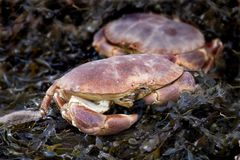 Fresh crabs Stock Image