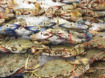 Fresh crabs on ice Royalty Free Stock Photography