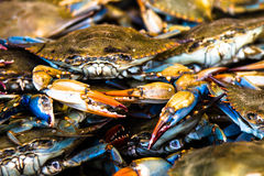 Fresh crabs. Maryland blue crabs at the fish market Royalty Free Stock Image