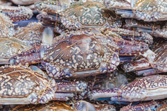 Fresh crabs in seafood market. Selective focus on Close-up of Fresh Seafood - Raw Flower crab, Blue manna crab, Sand crab, Portunus pelagicus, Portunus  are Stock Image