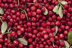 Fresh cranberries Royalty Free Stock Photos