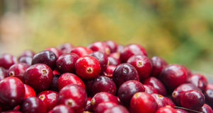 Fresh cranberries against nature green background Stock Photography