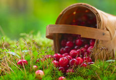 Fresh cranberries in a basket Royalty Free Stock Image