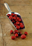 Fresh Cranberries Spilling out of a Metal Scoop. Stock Photos