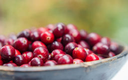 Fresh cranberries in wooden bowl Royalty Free Stock Image