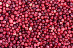 Fresh cranberry. Background from fresh ripe red berries of a cranberry Stock Photos