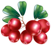 Fresh cranberry Royalty Free Stock Image