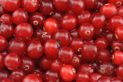 Fresh cranberry. Wet and shining stock image
