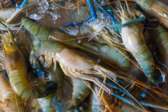 Fresh crawfishes Royalty Free Stock Photos