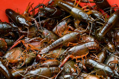 Fresh crayfish calming in the red box Stock Images